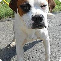 Adopt A Pet :: Mitz - Bardonia, NY
