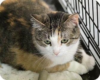 Domestic Shorthair Cat for adoption in Alden, Iowa - Milkshake