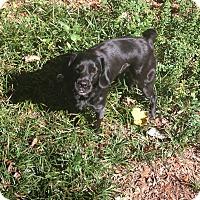 Adopt A Pet :: Puck-Courtesy Post - Alpharetta, GA