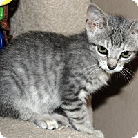 Adopt A Pet :: Chibi Chan - The Colony, TX