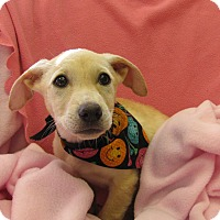 Adopt A Pet :: Dara - Charlemont, MA