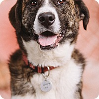Adopt A Pet :: Clyde - Portland, OR