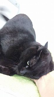 Domestic Shorthair Cat for adoption in Fort Lauderdale, Florida - Licorice