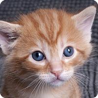 Adopt A Pet :: Sir Peaches - Chicago, IL