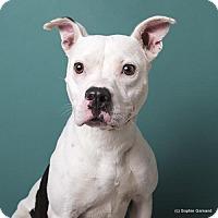 American Bulldog Mix Dog for adoption in Anniston, Alabama - Sassy