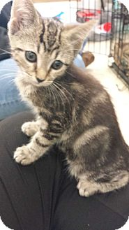 Domestic Shorthair Kitten for adoption in Stafford, Virginia - Splash