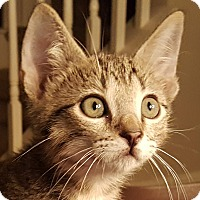 Domestic Shorthair Kitten for adoption in Friendswood, Texas - Blitzen