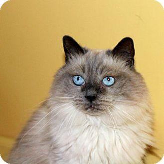 Balinese Cat for adoption in Edmonton, Alberta - Cloud