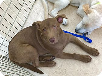 Labrador Retriever Mix Puppy for adoption in Smithtown, New York - Benny