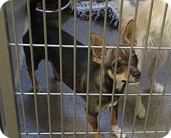 Rat Terrier/Chihuahua Mix Dog for adoption in Tracy, California - Macy