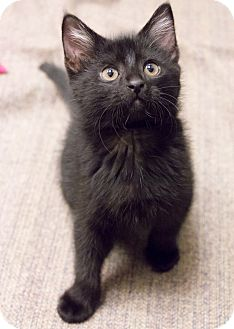 Domestic Shorthair Kitten for adoption in Chicago, Illinois - Maddon