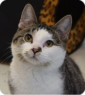 Domestic Shorthair Cat for adoption in Naperville, Illinois - Squiggy-KIND, GENTLE-11 MONTHS