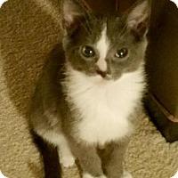 Adopt A Pet :: Chip - Walled Lake, MI