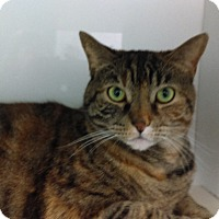 Domestic Shorthair Cat for adoption in Fairfax, Virginia - MJ