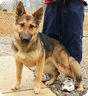 German Shepherd Dog Puppy for adoption in Greeneville, Tennessee - Inga