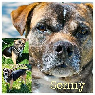 Pug/Beagle Mix Dog for adoption in Garden City, Michigan - Sonny
