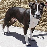 Adopt A Pet :: Rhodi - Gilbert, AZ