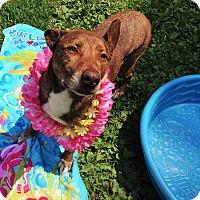 Adopt A Pet :: Dazzle - Ashland, VA