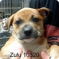 Adopt A Pet :: Zulu - baltimore, MD