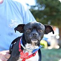 Adopt A Pet :: Bruno (aka Chorizo) - Oakley, CA