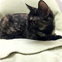 Adopt A Pet :: Victoria - Addison, IL