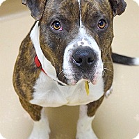 Adopt A Pet :: Shorty - Dublin, CA