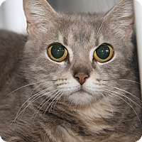 Domestic Shorthair Cat for adoption in Marietta, Ohio - Bright Eyes (Spayed)