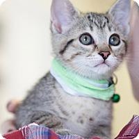 Adopt A Pet :: Cersei - Homewood, AL