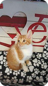 Domestic Shorthair Kitten for adoption in Houston, Texas - NICKY