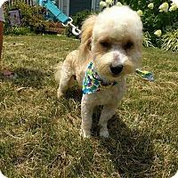 Adopt A Pet :: Ozzie (RBF) - Washington, DC