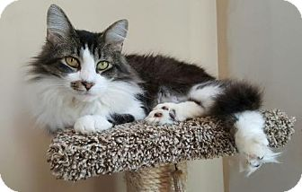 Domestic Longhair Cat for adoption in Washington, D.C. - Rigatoni