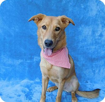 Golden Retriever/Border Collie Mix Dog for adoption in Charlotte, North Carolina - Lilly Rose