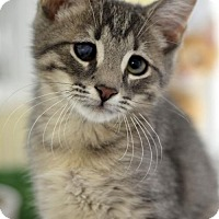 Domestic Shorthair Kitten for adoption in Atlanta, Georgia - Rembrandt 161354