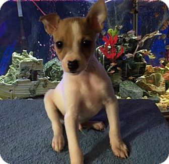 Jack Russell Terrier/Rat Terrier Mix Puppy for adoption in Barnhart, Missouri - Fred