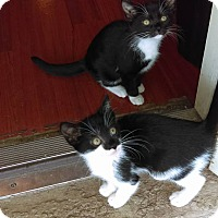 American Shorthair Kitten for adoption in Lakeland, Florida - Winnie