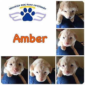 Catahoula Leopard Dog/Labrador Retriever Mix Puppy for adoption in Folsom, Louisiana - Amber