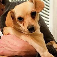 Adopt A Pet :: Sheldon - Rock Hill, SC
