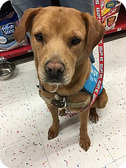 Labrador Retriever Dog for adoption in Purcellville, Virginia - Mikey