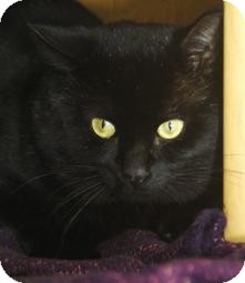 Domestic Shorthair Cat for adoption in Medford, Massachusetts - Big Boy