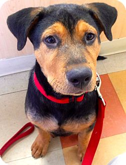 Rottweiler/German Shepherd Dog Mix Puppy for adoption in Miami, Florida - Denver