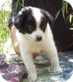 Border Collie/Australian Cattle Dog Mix Puppy for adoption in Brattleboro, Vermont - Adeline
