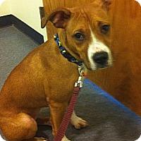 Adopt A Pet :: Leya - Minnetonka, MN
