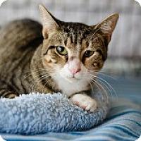 Adopt A Pet :: Caroline - McKinney, TX