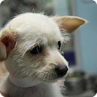 Adopt A Pet :: Candi - Phoenix, AZ