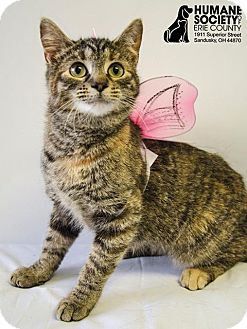 American Shorthair Cat for adoption in Sandusky, Ohio - KILEY