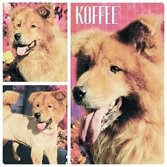 Chow Chow Dog for adoption in Dix Hills, New York - Koffee