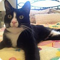 Adopt A Pet :: Mittens - North Ogden, UT