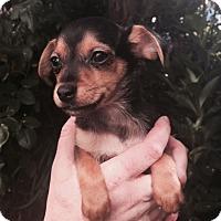 Adopt A Pet :: Quincy - San Francisco, CA