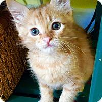 Adopt A Pet :: Tangerine - Novato, CA