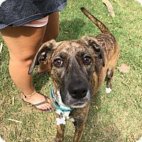 Adopt A Pet :: Marley - Allentown, PA